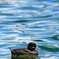 新西兰潜鸭