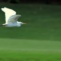 飞翔的黄嘴白鹭