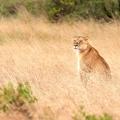 2018.12.6非洲狮再行动