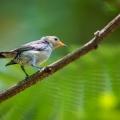 朱背啄花鸟