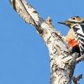 啄木鸟的坐姿