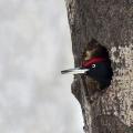 啄木鸟归巢