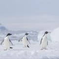 南极的阿德利企鹅