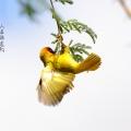 编织鸟 国庆节
