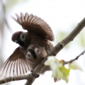 麻雀虽小但是一年春来到小麻雀也一样开始了繁育后代。