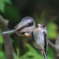 银喉长尾山雀