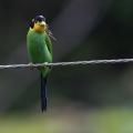 春光染绿的长尾阔嘴鸟