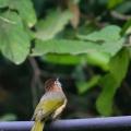 绿翅短脚鹎