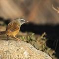 黑胸山鹪莺