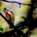 红胸啄花鸟