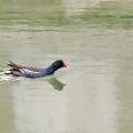 水中一只鸟