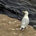 黑尾黄嘴鸥
