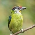 金喉拟啄木鸟