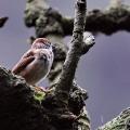 枯树小麻雀