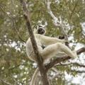 丝绒冕狐猴