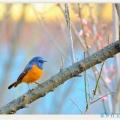 美丽可爱的小鸟————蓝额红尾鸲