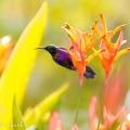 馬來西亞鳥類