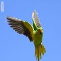 红领绿鹦鹉