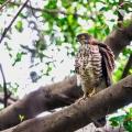 霸气的凤头鹰⑧——亮翅