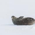 南极豹海豹
