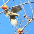 灰头绿啄木鸟