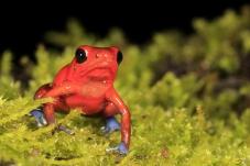 草莓箭毒蛙