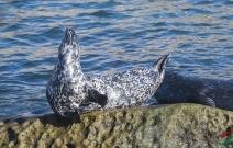 悠闲的海豹