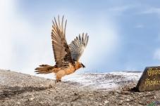 猛禽,胡秃鹫