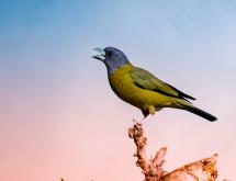 黄颈拟蜡嘴雀