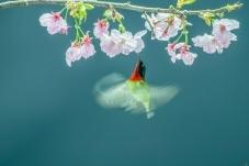 山樱花 · 太阳鸟