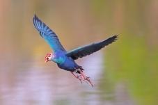 紫水鸡--彩色世界