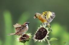 金翅雀遇麻雀