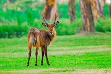 回眸——非洲水羚羊
