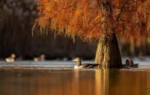 秋洒池杉湖