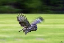 慢门乌林鸮(祝贺老师佳作荣获首页鸟类精华