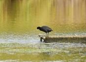 竹風:金色池塘 (自由詩)