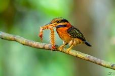 栗领翡翠----拍摄于泰国