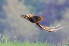 飞吧--白冠长尾雉