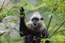 白头叶猴--享受美食