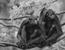 东黑冠长臂猿
