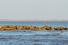 海滩斑海豹