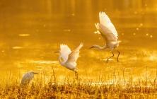 南溪湿地伊通河畔一群觅食的小白鹭