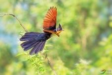 飞起来的凤头鹃