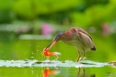 小黄鹭捉鱼图