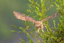 树版小猫——纵纹腹小鸮