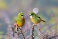 谈情说爱--火尾绿鹛(祝贺佳作获鸟类精华!