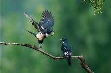 鸟以食为媒