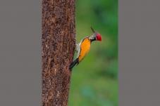 大金背啄木鸟
