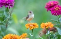 花丛小精灵-鹪莺