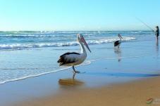 黄金海岸海边的鹈鹕与钓鱼翁